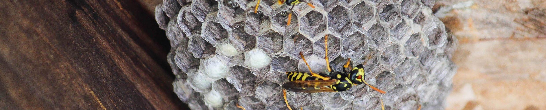 wasps nest